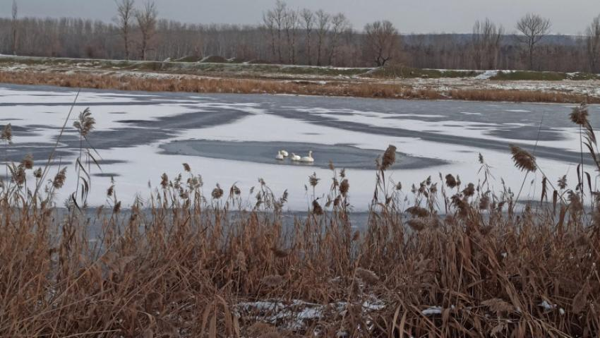 Mobilizare pentru salvarea a patru lebede blocate pe un lac înghețat