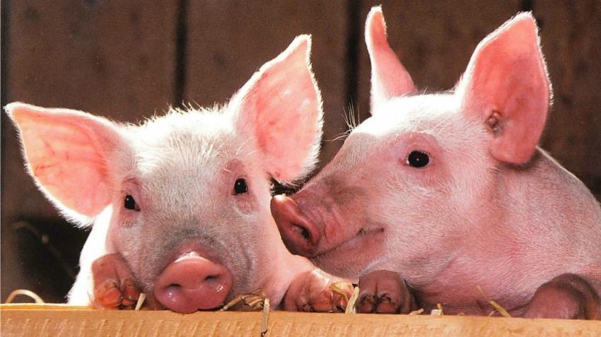 Ministrul Agriculturii, Adrian Oros: Avem o criză a cărnii de porc